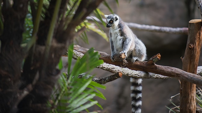 Ring Tailed Lemur at Discovery Island Trails