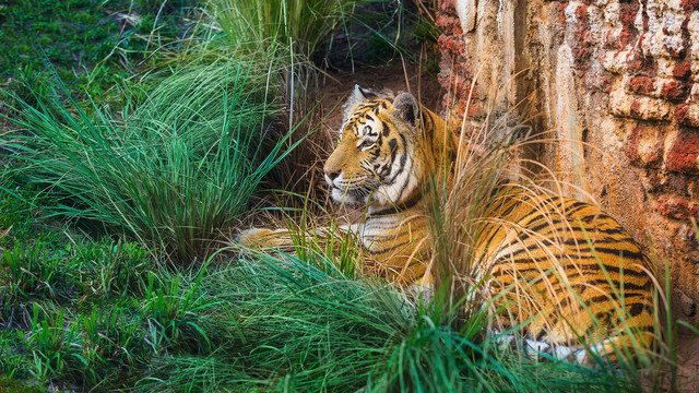 Tiger sitting at Maharajah Jungle Trek