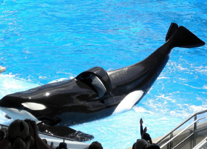 SeaWorld Killer Whale Tilikum Passes Away