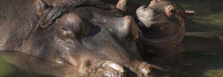 Disney's Animal Kingdom Welcomes a Baby Hippo!